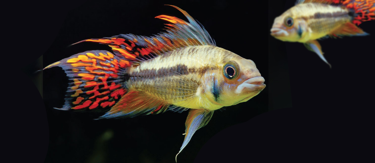 The Big World Of Small Cichlids South American Style Fluval Usa